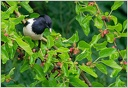 Spacek ruzovy / Rose-coloured Starling