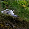Northern Fulmar / Burnak ledni