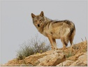 Canis lupus arabs