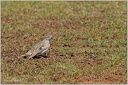 Skrivanek kratkoprsty/Greater Short-toed Lark