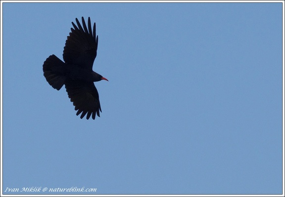 Kavce cervenozobe / Red-billed Chough