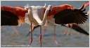 Plamenak ruzovy / Greater Flamingo