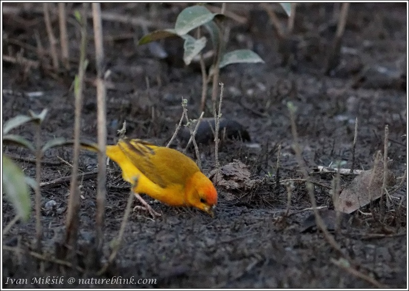 Orange-fronted Yellow-finch / Safranka mensi