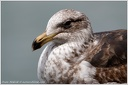 Black-backed Gull / Racek jizni