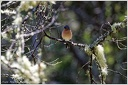Chaffinch / Penkava obecna - New Zealand
