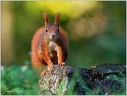 Veverka obecna / Eurasian red squirrel