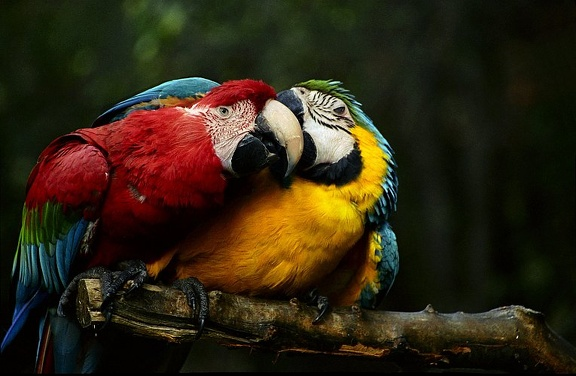 Ara zelenokridly / Green-winged Macaw