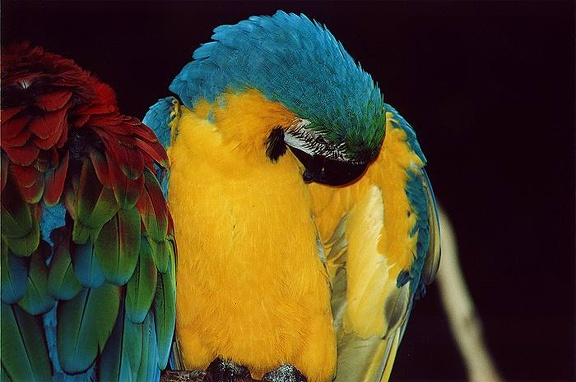 Ara ararauna / Blue and Gold Macaw