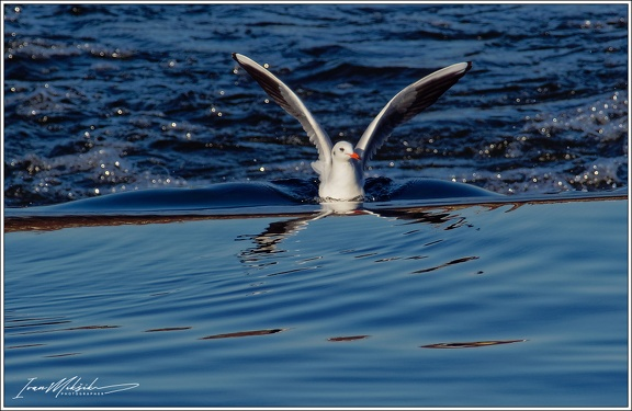Racek chechtavy / Black-headed Gull