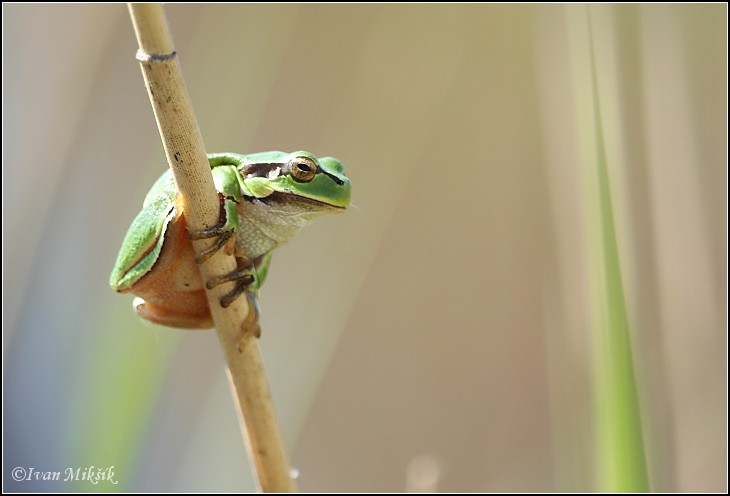 Rosnička zelen? / European Treefrog, Common Tree Frog